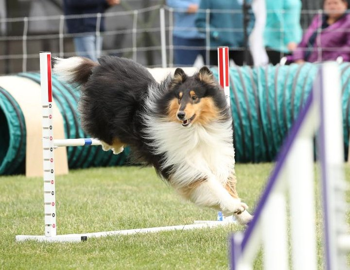 Benny over the high jump in agility