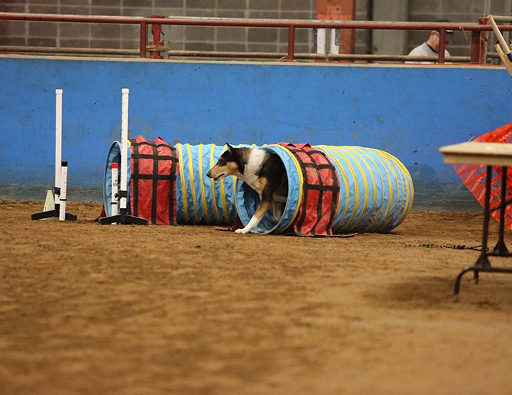Kade - the smooth - doing the tunnel in agility