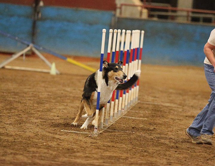 Kade - the smooth - doing weave poles in agility
