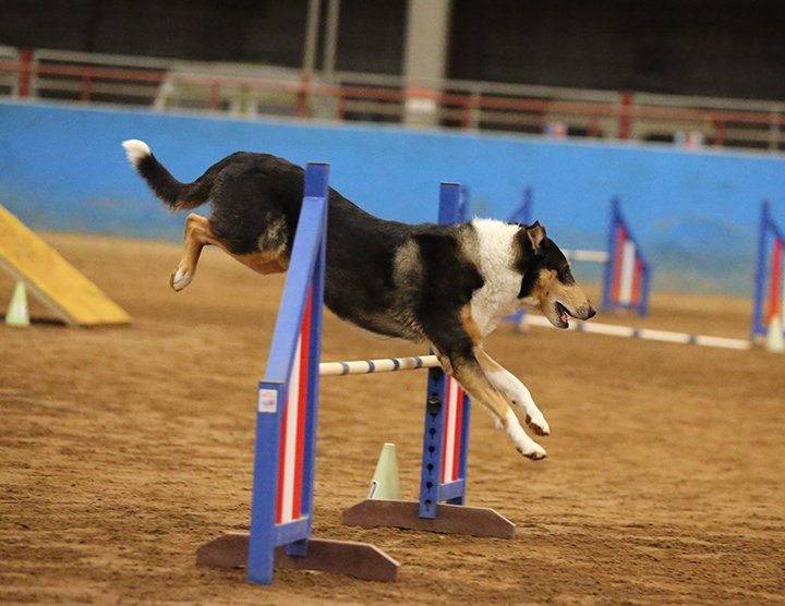 Kade - the smooth - jumping in agility