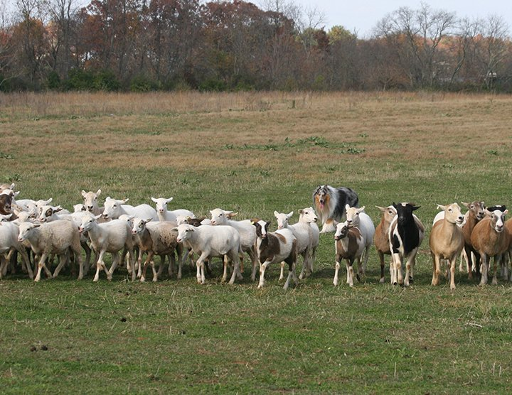 Rough Blue Merle herding a lot of sheep
