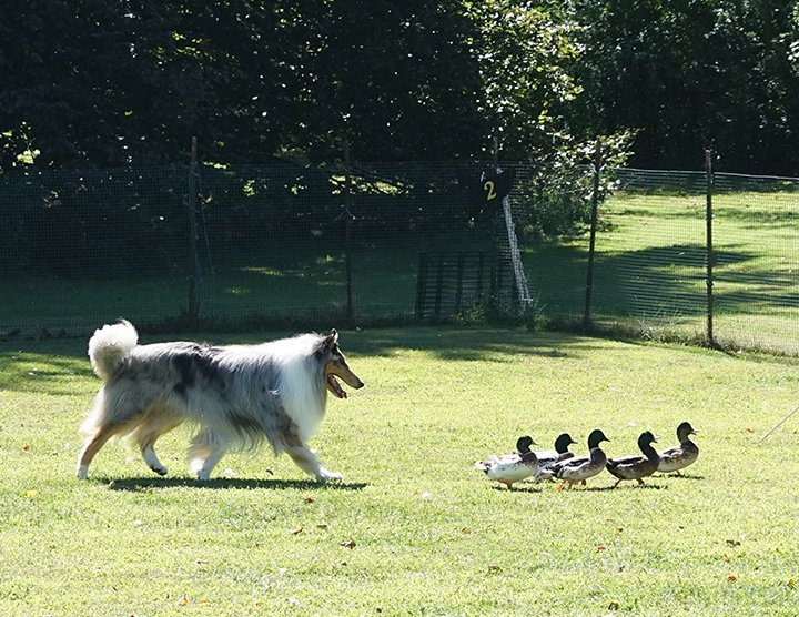 Rough Blue Merle moving ducks