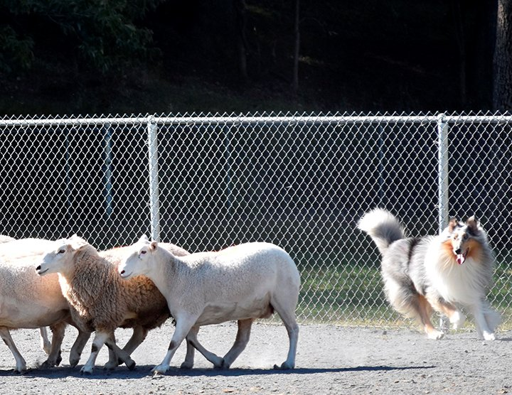 Rough Blue Merle moving sheep
