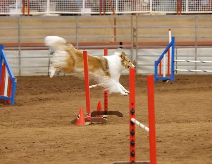 Rough sable jumping the high jump in agility