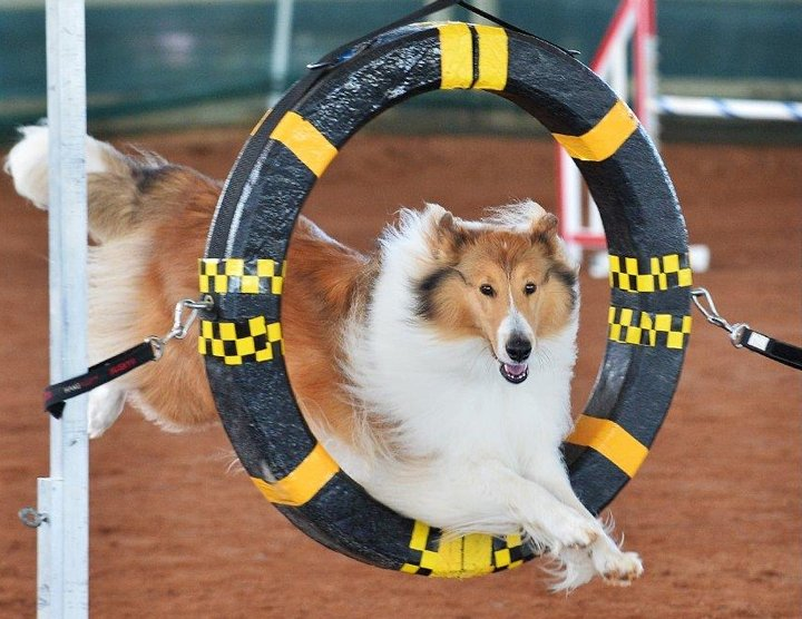 Rough sable jumping through the tube in agility