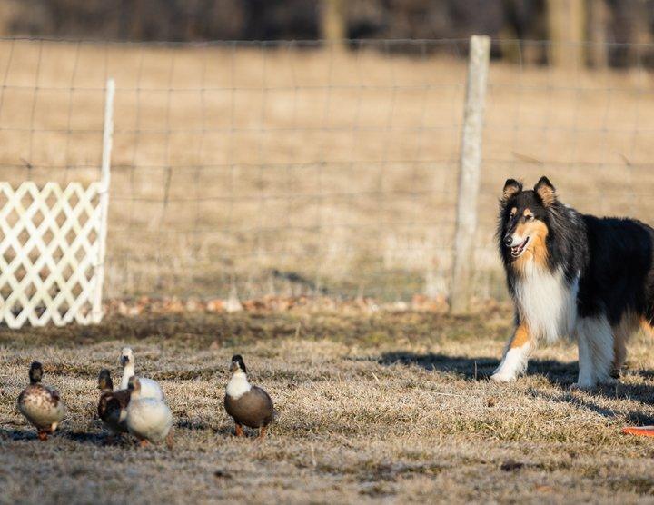 Rylan herding ducks