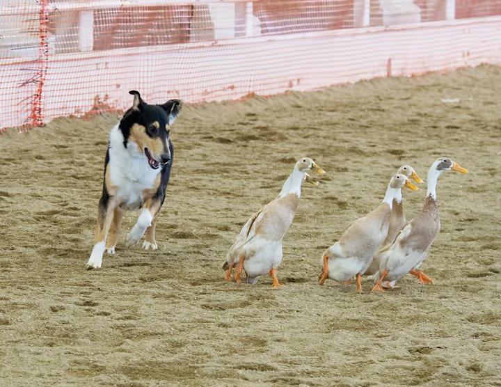 Smooth tri male herding ducks